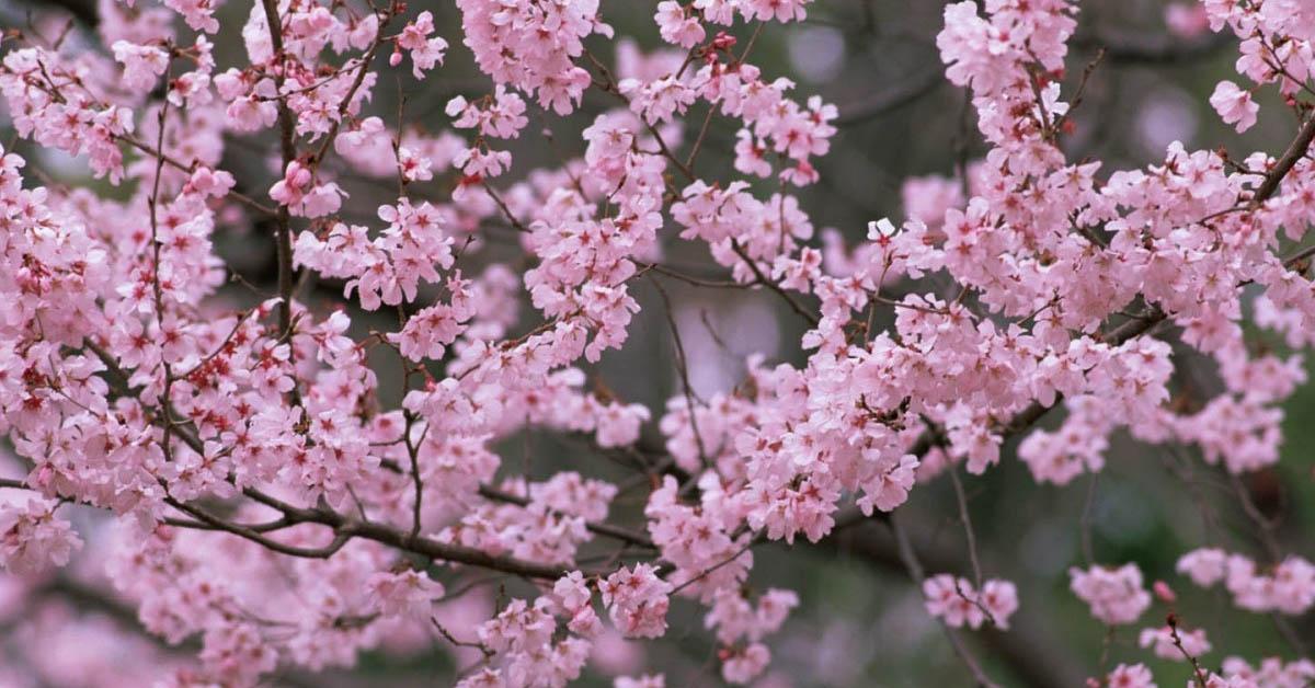 Bahar Ve çiçek