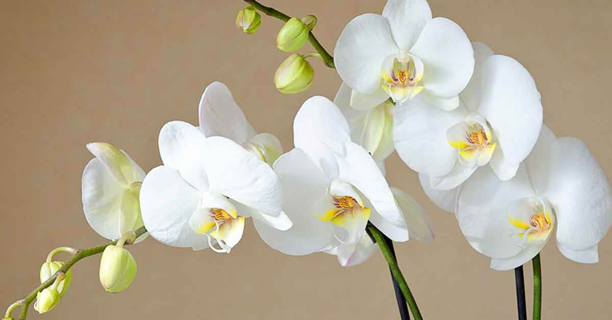 Orkide Çeşitleri