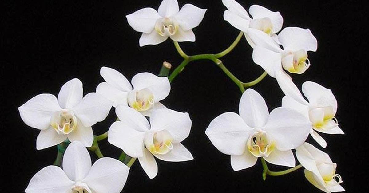 Orkide Bakımı Nasıl Yapılır?